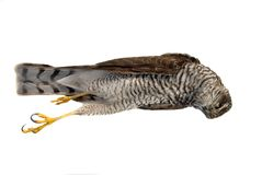Dead sparrow hawk Royalty Free Stock Photography