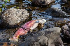 Dead Spawned Pacific Sockeye Salmon in Adams River. A dead Pacific sockeye salmon in the Adams River in BC, Canada, after it returned to spawn before it died in stock images