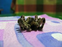 Dead Spider Tarantula Lycosa Singoriensis. Dead spider with hairy legs. Tarantula lycosa singolariensis Royalty Free Stock Image