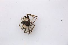 Dead Spider On White Stock Photography