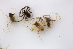 Dead Spiders On White Stock Image