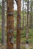 Damaged spruce trees. Dead spruce trees damages by Spruce Bark Beetles royalty free stock photos