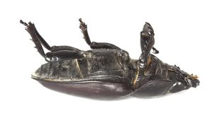Dead stag beetle Stock Photo