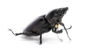 Dead Stag Beetle, Lucanus cervus, isolated Stock Photography