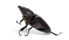 Dead Stag Beetle lying on its back, Lucanus cervus, isolated Royalty Free Stock Photos