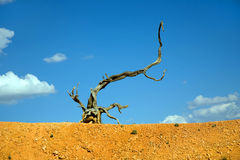 Dead standing tree in Bryce Canyon Stock Photography