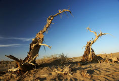 Dead standing tree in desert Stock Images