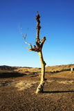 Dead standing tree in gobi desert Royalty Free Stock Image