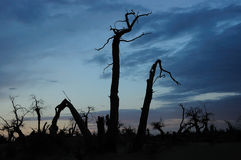 Dead standing trees in sunset Royalty Free Stock Photos