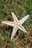 Dead starfish on the grass Royalty Free Stock Photos