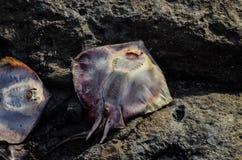 Dead Stingray Fish. On the Coast near the Atlantic Ocean royalty free stock photo