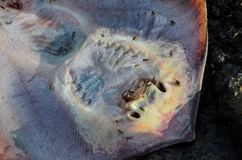 Dead Stingray Fish. On the Coast near the Atlantic Ocean stock image