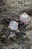Dead Stingray Fish. On the Coast near the Atlantic Ocean stock photo