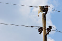 Dead stork  on electricity wires Stock Photo