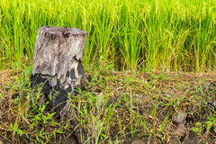 Dead stumps Royalty Free Stock Photos