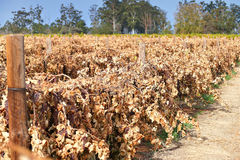 Dead Sultana Grape Vines Royalty Free Stock Photos