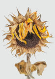 Dead Sunflower Stock Photography