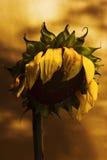 Dead sunflower Stock Image