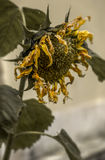 Dead Sunflower Royalty Free Stock Photography
