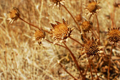 Dead Sunflowers. In California drought, Napa Valley, California Royalty Free Stock Photo