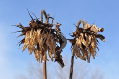 Dead sunflowers in winter with blue sky Royalty Free Stock Image