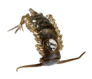 Dead supine centipede Stock Images