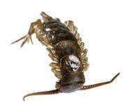 Dead supine centipede Stock Images