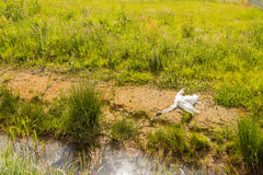 Dead swan on the bank of a ditch Stock Photos