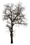 Dead Tamarind Tree Isolated Royalty Free Stock Photography