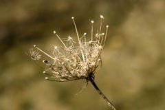 Dead Thistle Royalty Free Stock Images