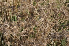 Dead thistle heads Royalty Free Stock Photography