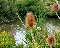 Thistles by a lake. Dead thistles in plants near a lake stock image