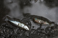 Dead three-spined sticklebacks. Dead three-spined stickebacks in a river after a pollution leak in Finland Royalty Free Stock Image
