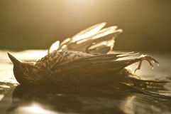 Dead Bird (Thrush;Turdidae) in evening sun Royalty Free Stock Photos