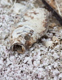 Dead tilapia on dried fish bones at Salton Sea Stock Photography