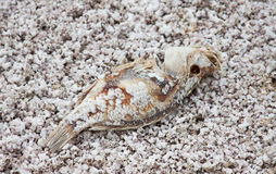 Dead tilapia at Salton Sea Stock Photos