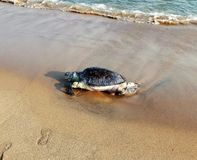 Dead tortoise on the sand of Sea Beach stock image