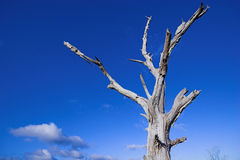 Dead tree 1. Dead tree against a blue sky Stock Photos