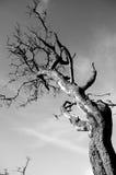 Dead Tree. In the open landscape Stock Image