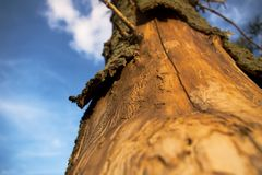 Dead tree. Tree killed by bark-beetles Royalty Free Stock Image