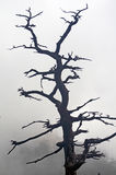 Dead tree. An old dead tree in the fog Royalty Free Stock Images
