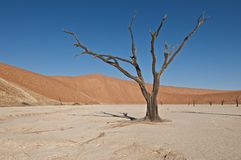 Dead tree. The sossus valley, in the middle of the Namib desert is known for it's petrified trees Stock Photo