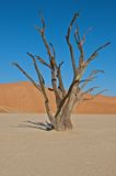 Dead tree. The sossus valley, in the middle of the Namib desert is known for it's petrified trees Royalty Free Stock Photography