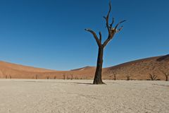 Dead tree. The sossus valley, in the middle of the Namib desert is known for it's petrified trees Stock Photos