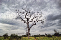 Dead tree. In the middle of Udawalawe national park, Sri Lanka Stock Photos