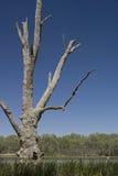 Dead Tree. Old dead tree in water, Australia Stock Image