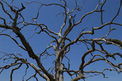 Dead Tree. A dead tree with bare branches against a blue sky Royalty Free Stock Photos