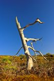Dead tree. At the Californian prairie Stock Images