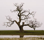 Dead tree. With curved branches in Denmark Royalty Free Stock Photography