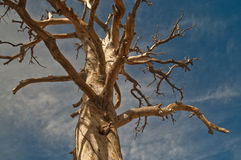 Dead Tree. Dried Out Single Tree over blue sky Royalty Free Stock Images